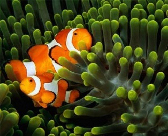 Clownfish. Photo National Geographic