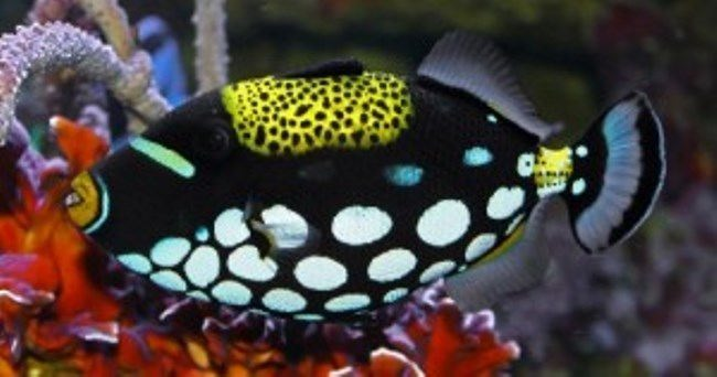 Colorful-spotted Clown Triggerfish