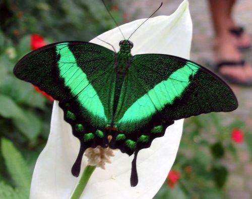 Emerald Green Butterfly Papilio palinurus