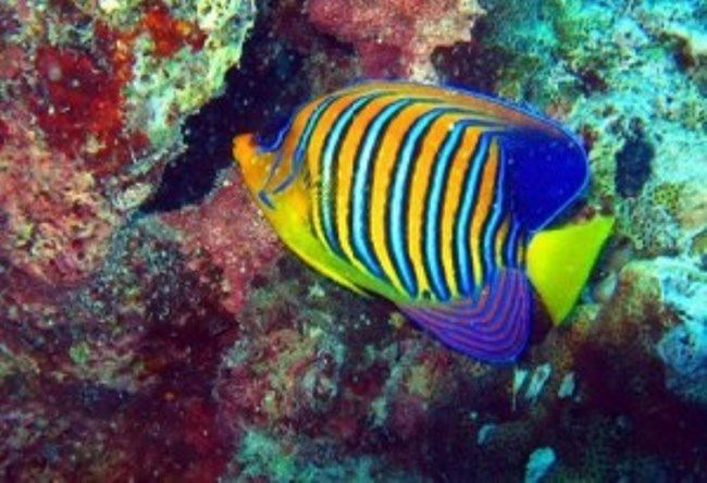 Emperor Angelfish comes in various sizes and colors. It changes shades as it matures