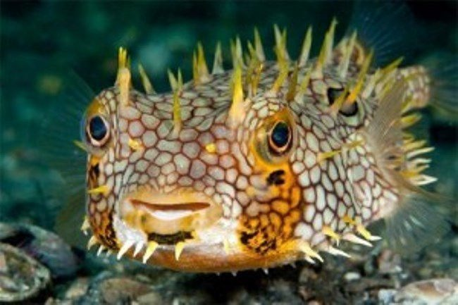 Hedgehog fish Diodon