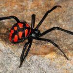 Horrible living creature Black widow spider