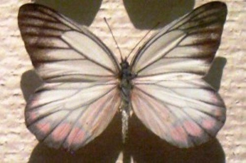 Pieridae White Butterfly
