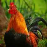 Red Rooster Year symbolic meaning
