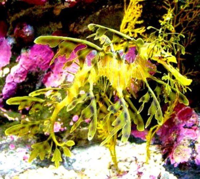 Green Leafy Sea Dragon