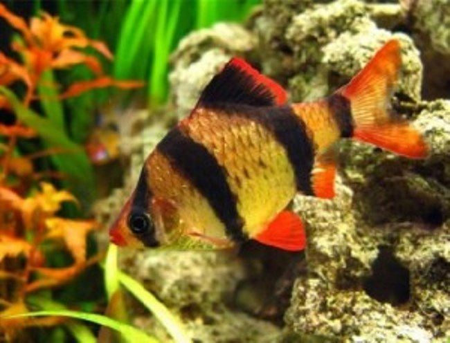 Tiger barb fish