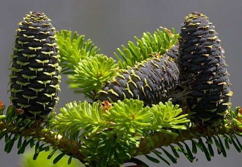 Spruce Cones colors
