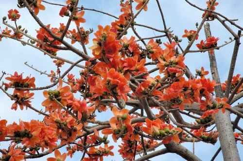 Wonderful Red Silk Cotton Tree