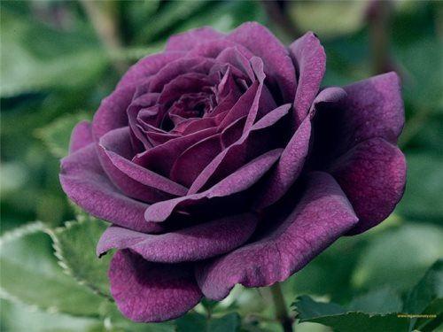 Rose inspired festivals