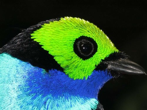 Seven color bird Paradise Tanager