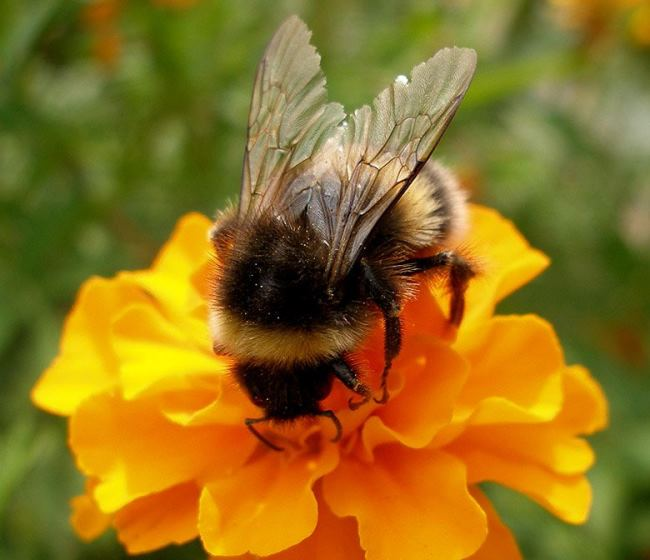 Wonderful Bumblebee