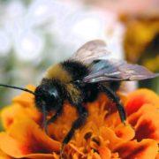 Wonderful Bumblebee