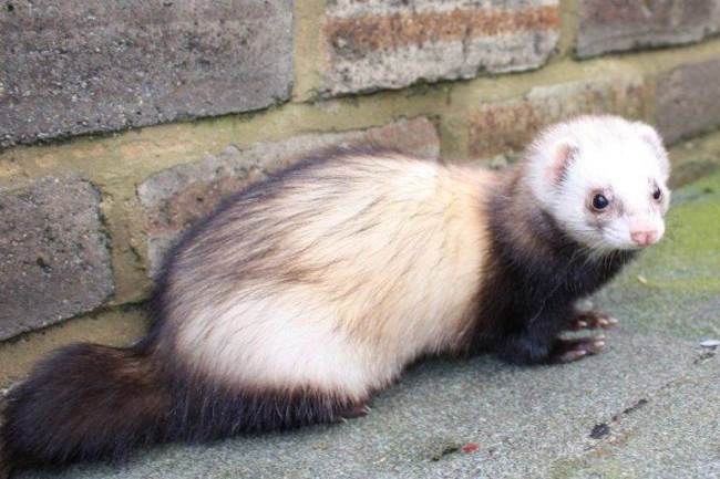 Ferrets – awesome animals