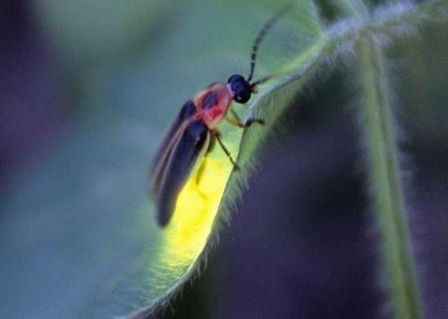 Firefly - living star