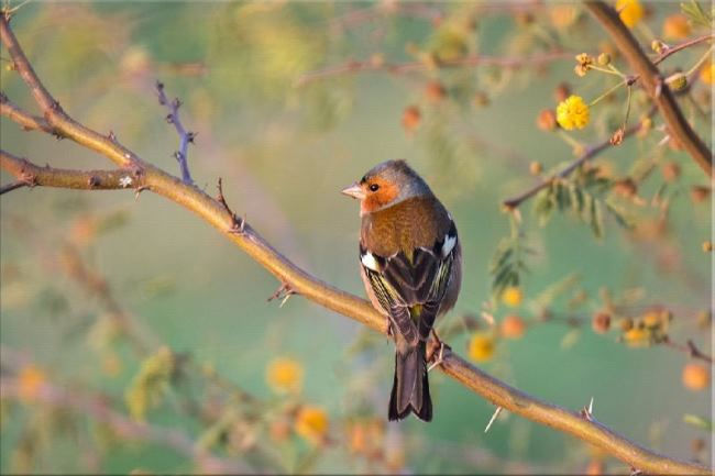 Charming finch