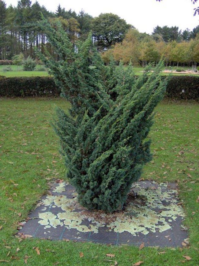Chinese juniper Blaauw