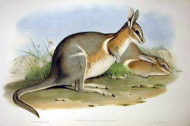 Crescent nail-tail wallaby