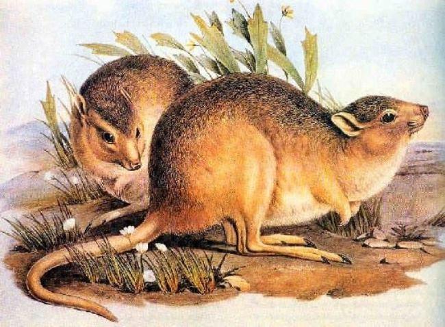 Desert rat-kangaroo