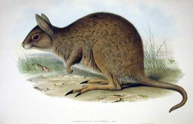 Eastern hare-wallaby