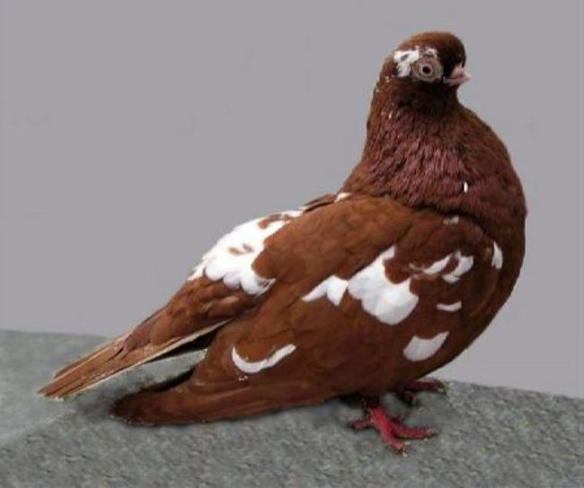 English short-faced pigeon