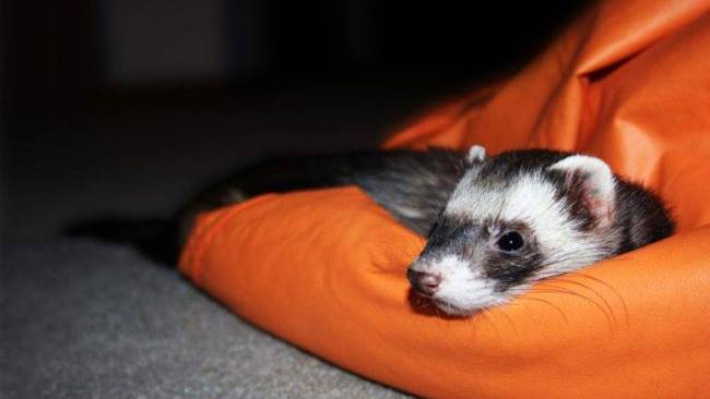 Ferret as a pet