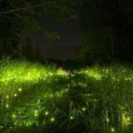 Firefly – living star