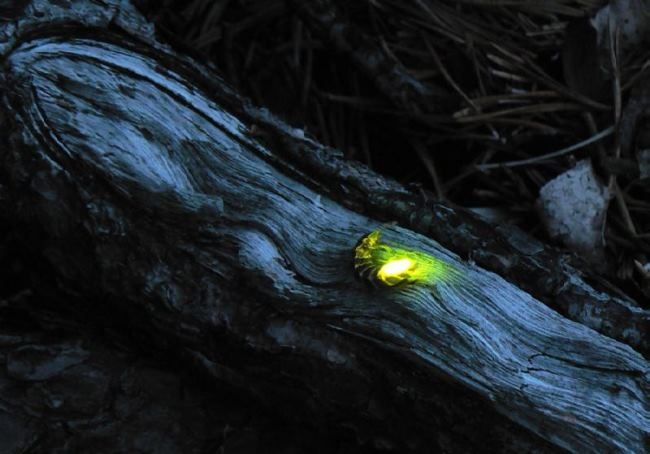 Glowing beetle