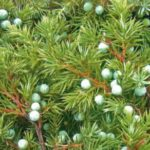Junipers – evergreen trees