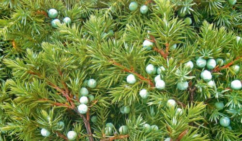 Junipers - evergreen trees
