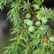 Siberian juniper