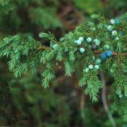Junipers - evergreen trees