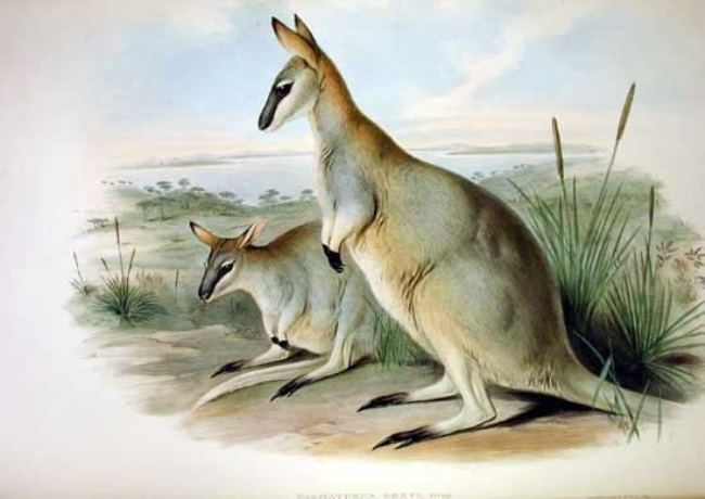 Toolache wallaby