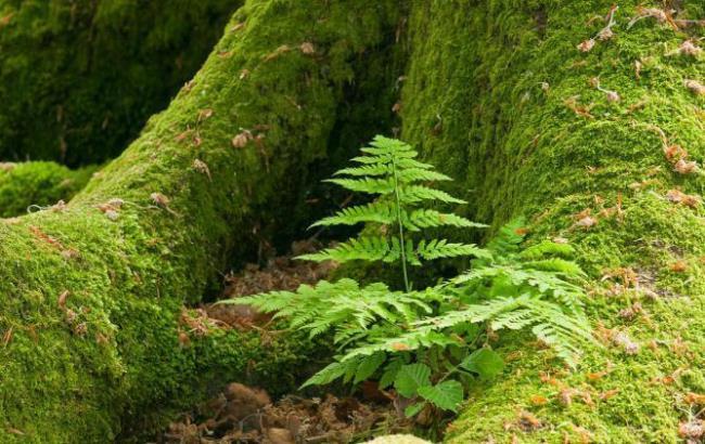 Original moss