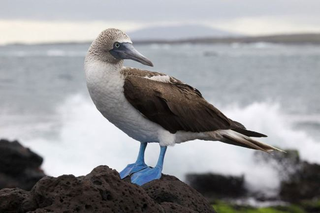 Symbol of the Galapagos Islands - Blue-footed booby